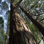杉(スギ)とヒノキ(檜・桧)の違いと見分け方(詳細写真つき)~サワラとヒノキも一緒に見分けよう。