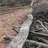 通りすがりのワイルドマンに伐採の手ほどきを受ける~偏芯木のツルの残し方