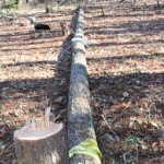 玉切り、そしてまたカラマツの伐採