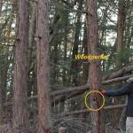 いきなり危険木?~芯の腐った木を伐採する