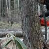直径40センチ・樹高25Mのカラマツ、コードネーム「コリャフトイヤー」の伐採に挑戦する。