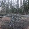 ビーバーも伐採に失敗して命を落とす。改めて安全第一を肝に命じました。